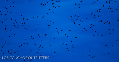 Doves in Argentina - Los Gauchos Outfitters