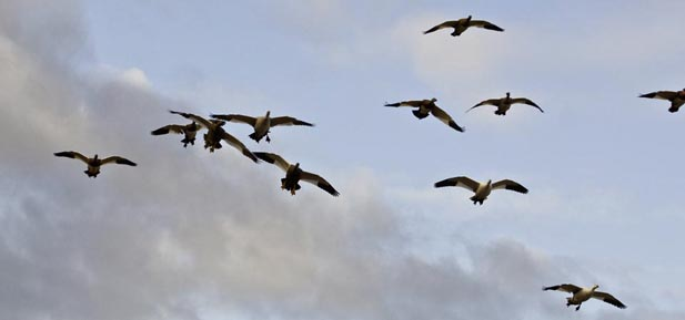 Argentina Goose Hunts - Los Gauchos Outfitters