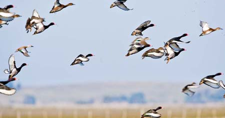 Duck Hunting Uruguay Photo - Los Gauchos Outfitters